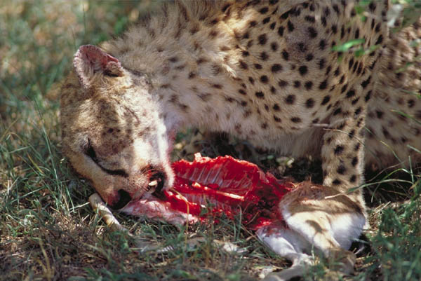 Image Gallery lion eat...