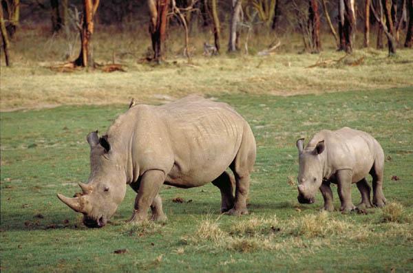 http://www.wainscoat.com/kenya/white-rhino-baby.jpg
